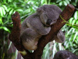 koala bears sleeping